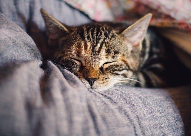 CBD-für-Katzen