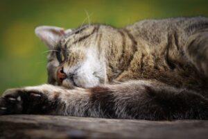 cannoVet CBD Oel fur Katzen